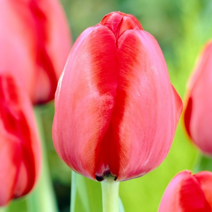 Tulipa Darwin Hybrid 'Red Impression'