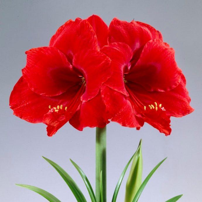 Amaryllis Dutch 'Red Lion'