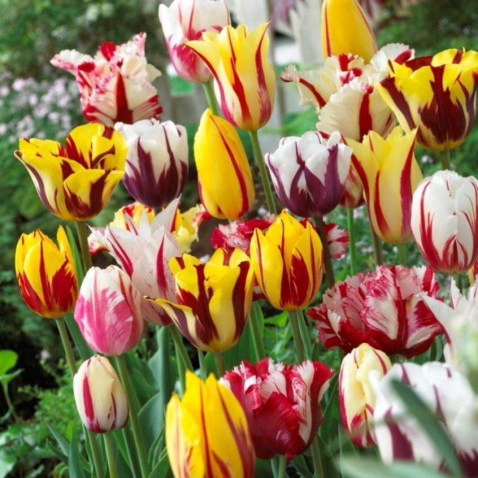 Tulipa Single Late 'Rembrandt Mixture'