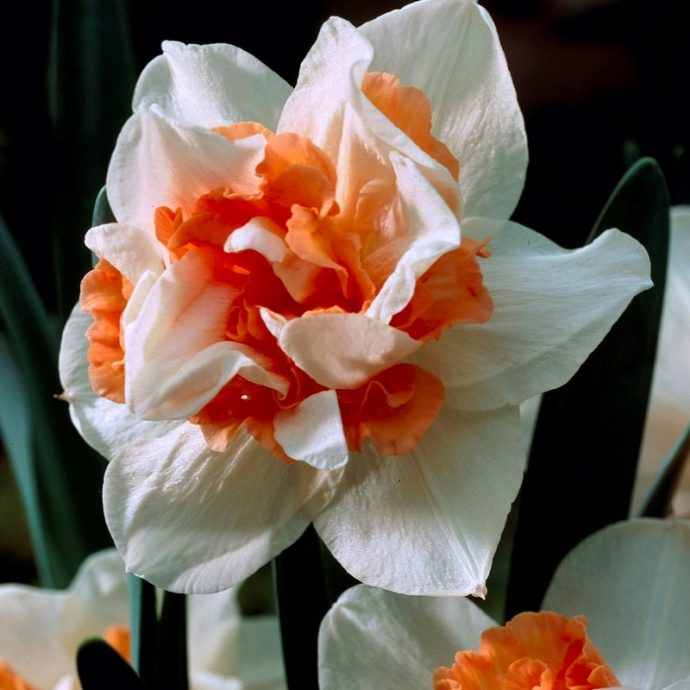 Narcissus Double 'Replete'