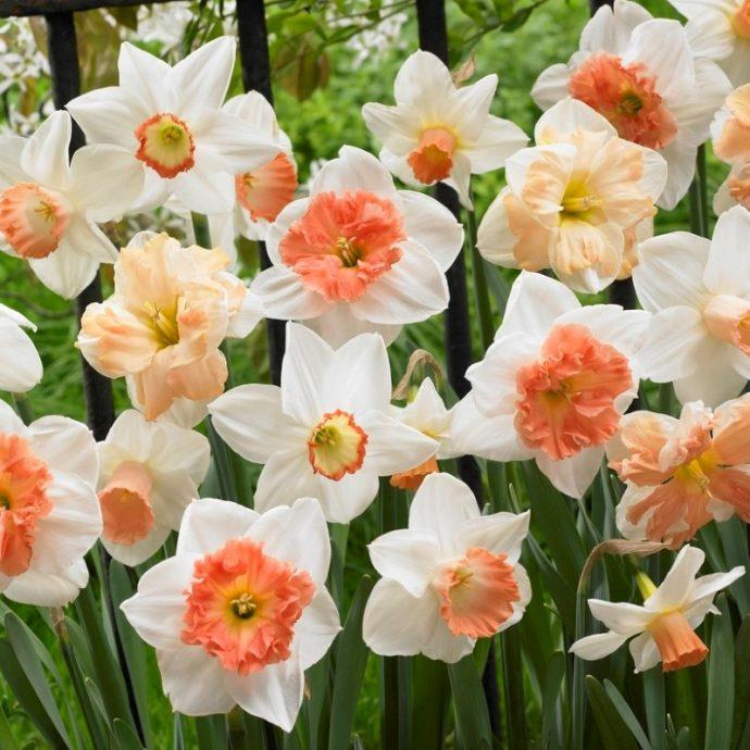 Narcissus Long-lasting Mixture 'Rotterdam Mixture'