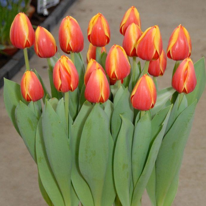Tulipa Darwin Hybrid 'Ad Rem'