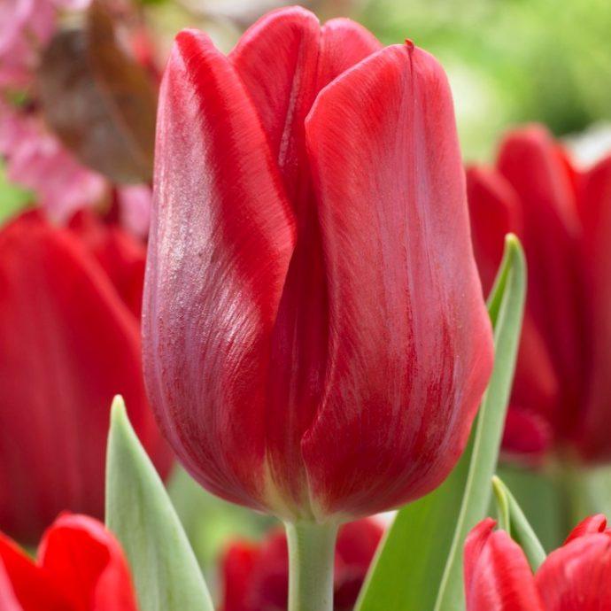 Tulipa Single Early 'Ruby Prince'