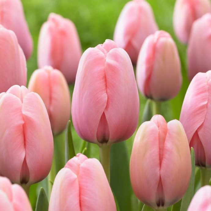 Tulipa Darwin Hybrid 'Salmon Impression'