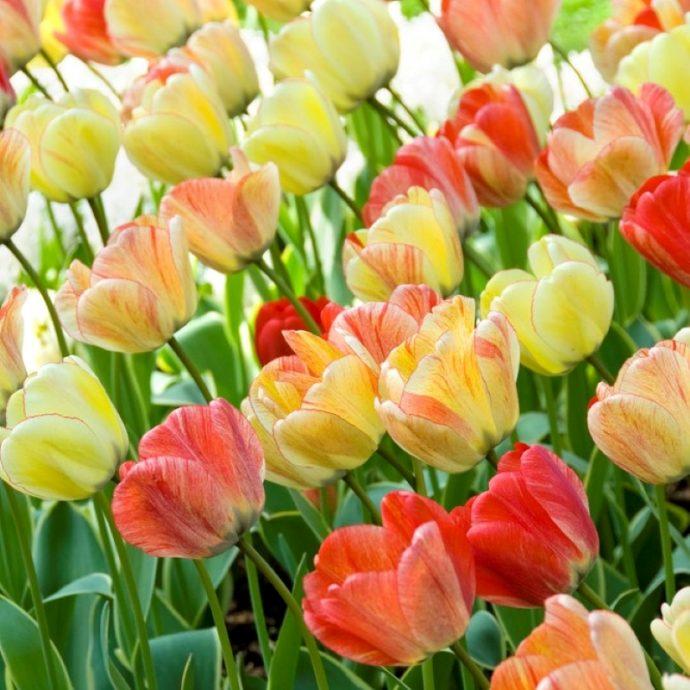 Tulipa Darwin Hybrid 'Silverstream'