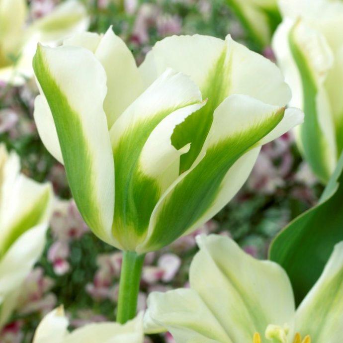 Tulipa Green 'Spring Green'