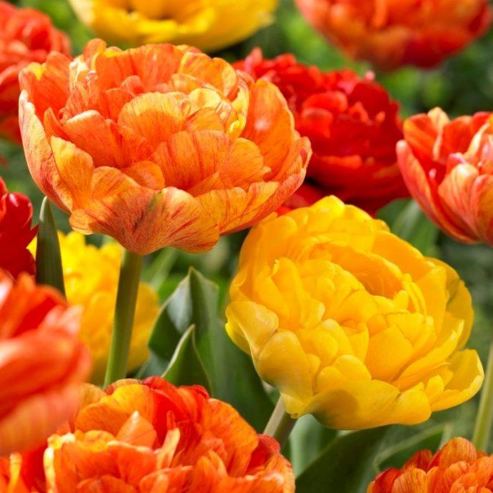 Tulipa Double Late 'Spring Joy Mixture'