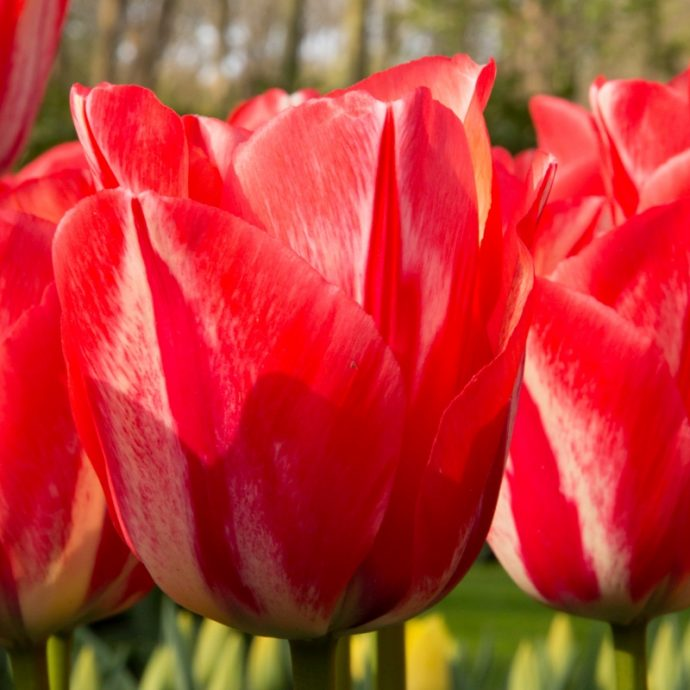 Tulipa Triumph 'Spryng Break'
