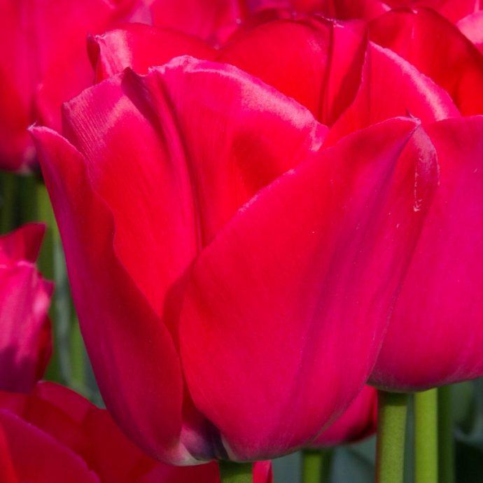 Tulipa Darwin Hybrid 'Spryng Tide'