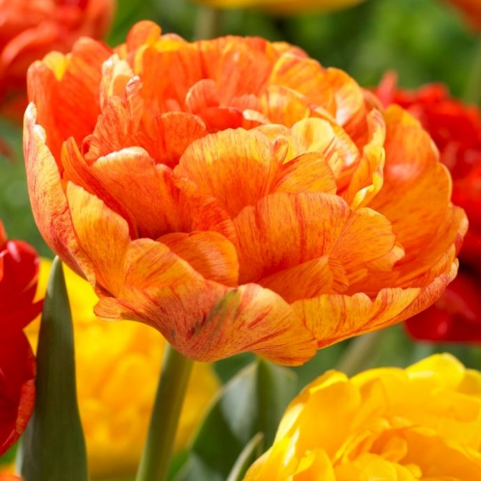 Tulipa Double Late 'Sun Lover'