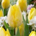 Tulipa Single Early 'Sunny Prince'