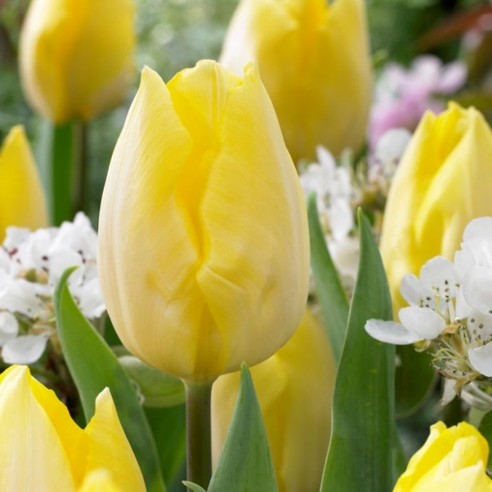 Tulipa Single Early 'Sunny Prince'