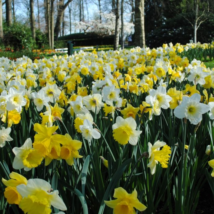 Narcissus Trumpet 'Sunny Side Up Mixture'