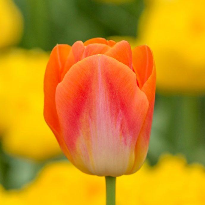 Tulipa Triumph 'Sunrise Dynasty'