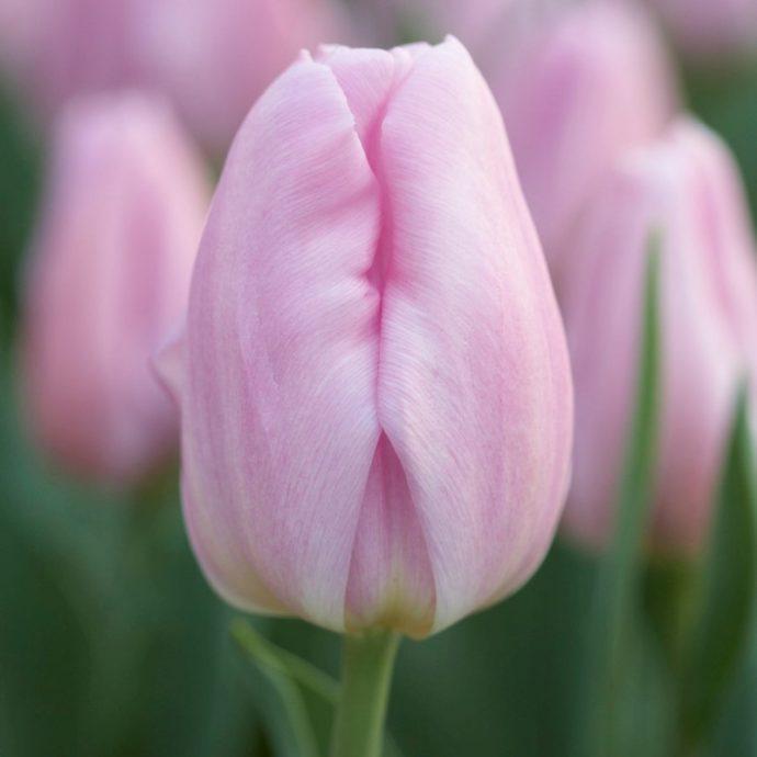 Tulipa Triumph 'Sweet Flag'