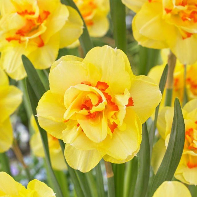Narcissus Double 'Tahiti'