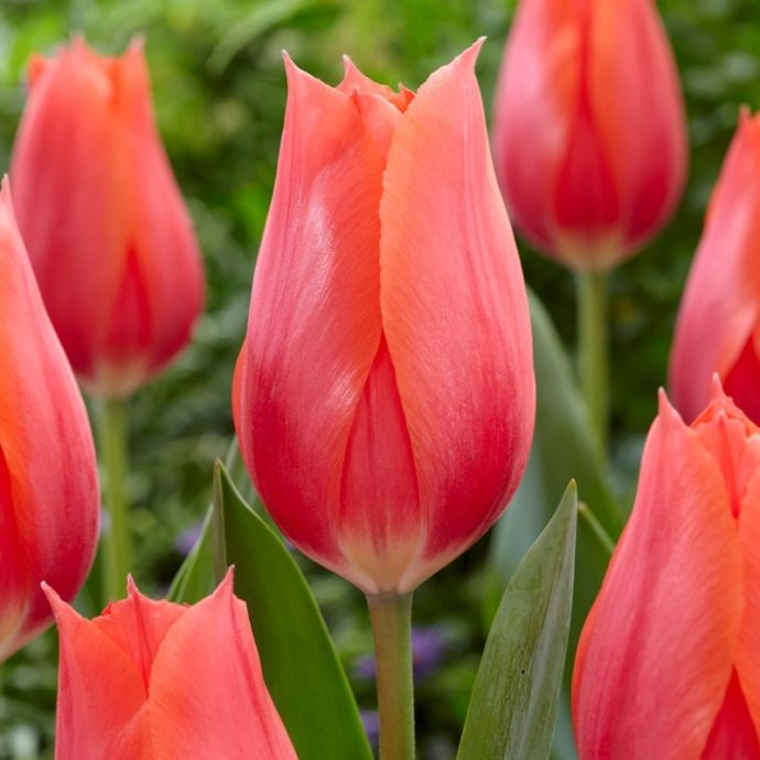 Tulipa Single Late 'Temple Of Beauty'