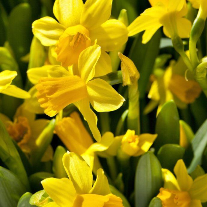 Narcissus Miniature 'Tete A Tete'