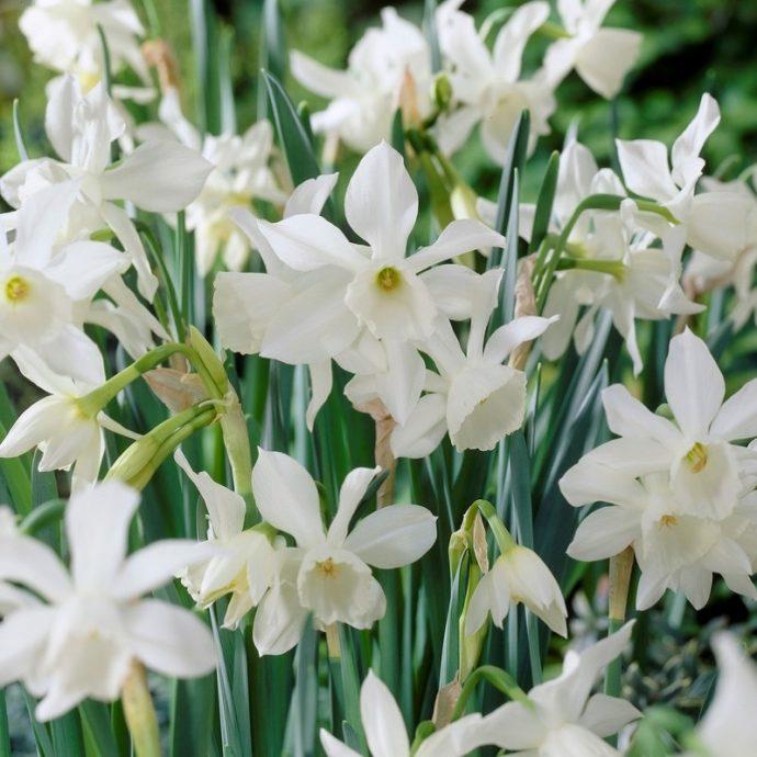 Narcissus Miniature 'Thalia'