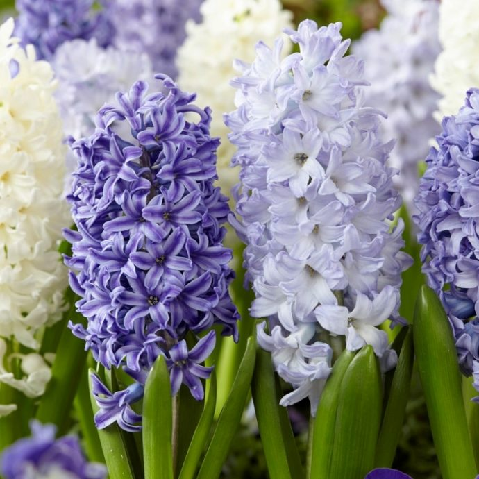 Hyacinthus Orientalis 'Mixture The Blues'