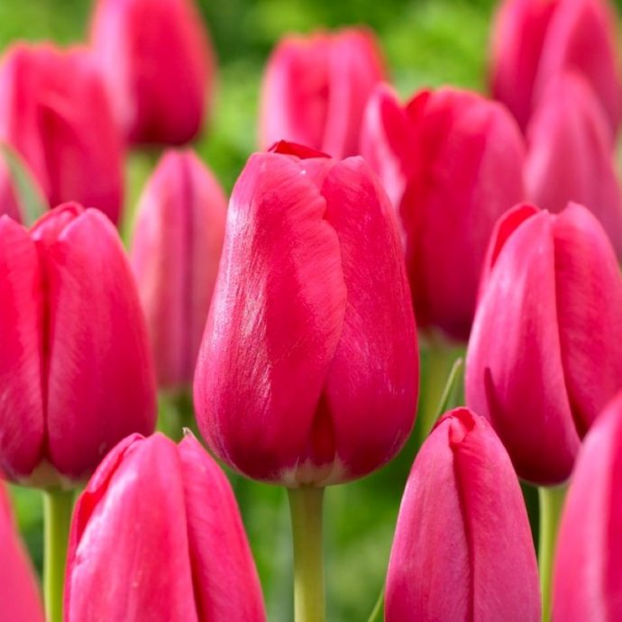 Tulipa Triumph 'The Cure'