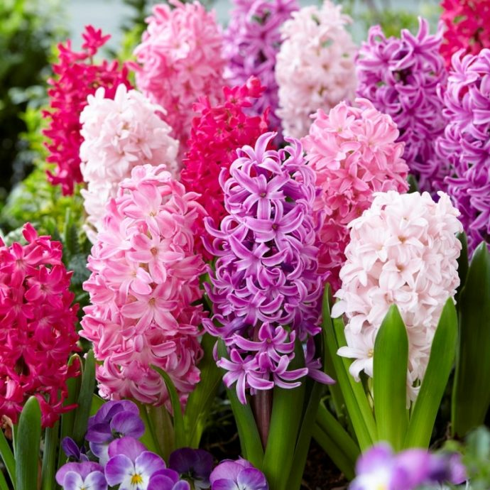 Hyacinthus Orientalis 'Mixture The Pinks'
