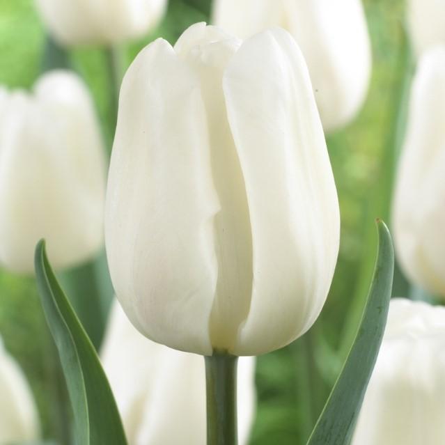 Tulipa Triumph 'Pim Fortuyn'