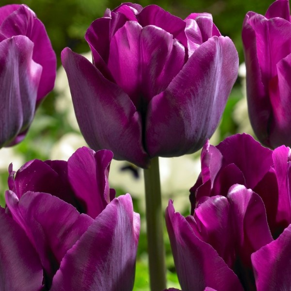 Tulipa Triumph 'Saigon'