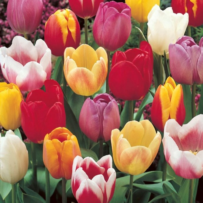 Tulipa Triumph 'Triumph Mixture'