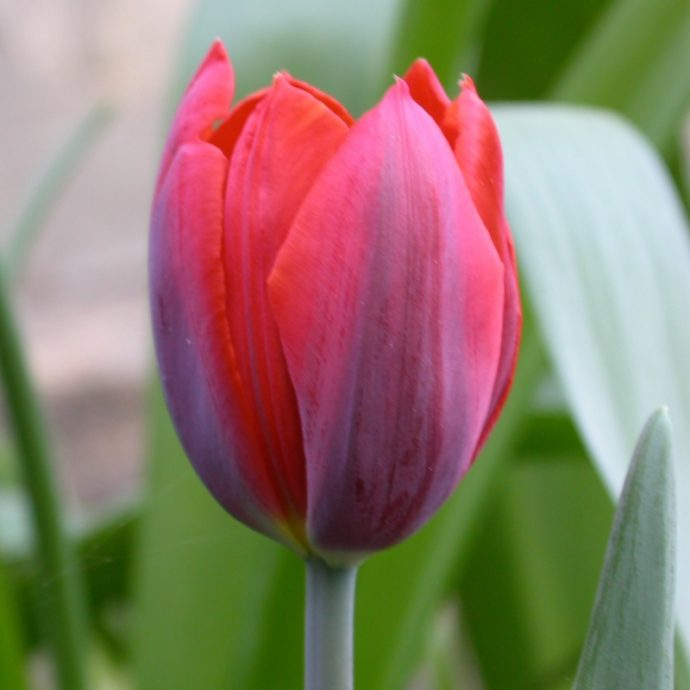 Tulipa Single Early 'Couleur Cardinal'
