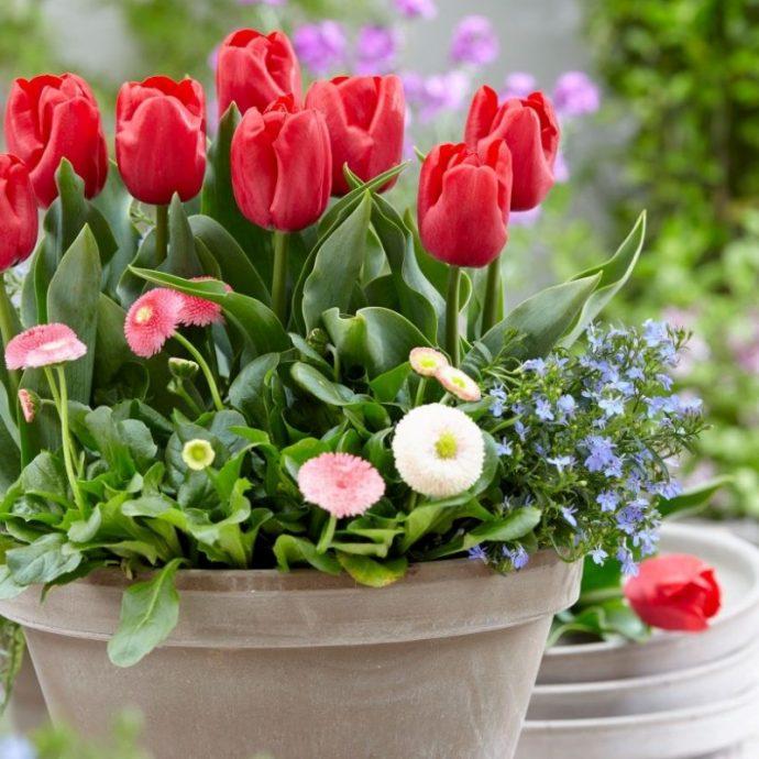 Tulipa Triumph 'Dean'