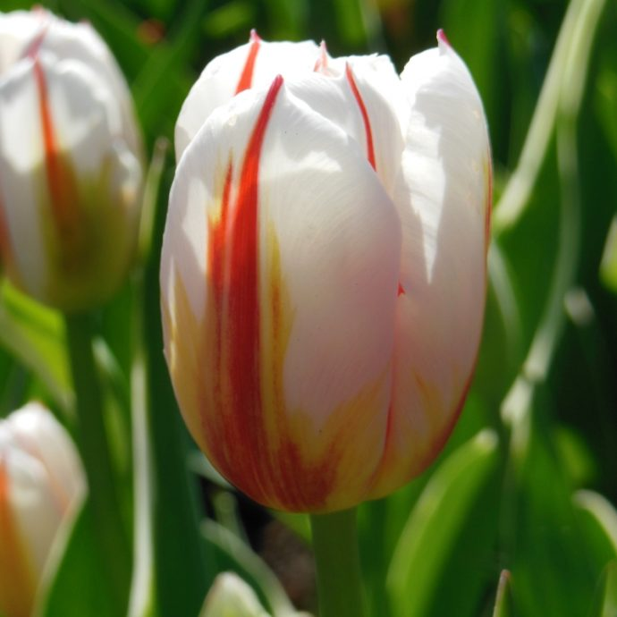 Tulipa Triumph 'Happy Generation'