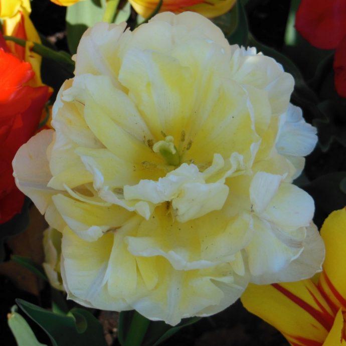 Tulipa Double Early 'Verona'
