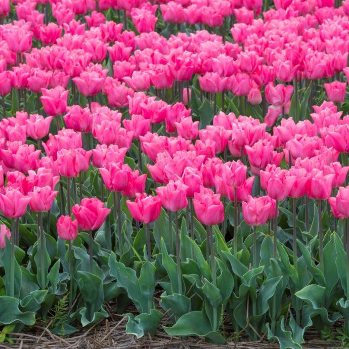 Tulipa Triumph 'Lydia'