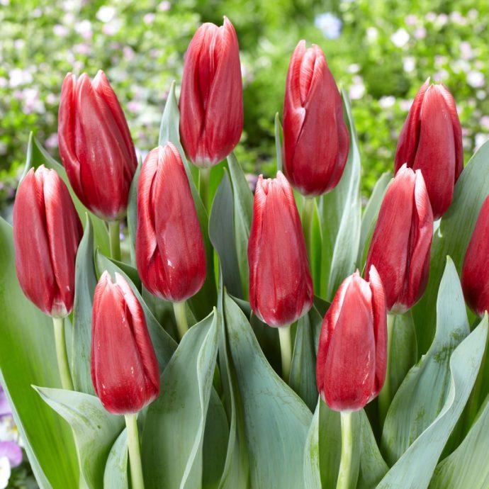 Tulipa Triumph 'Vampire'