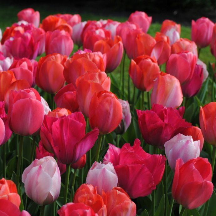 Tulipa Darwin Hybrid 'Van Eijk Mixture'