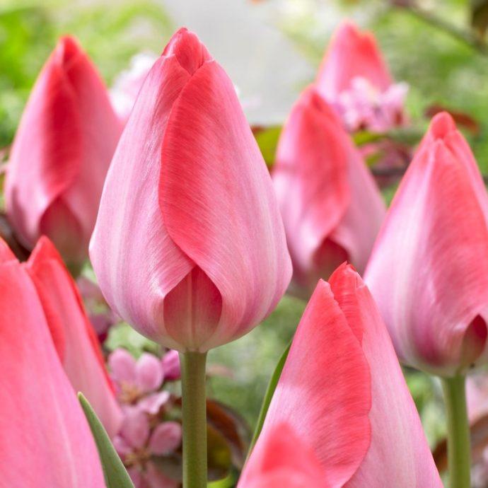 Tulipa Darwin Hybrid 'Van Eijk'