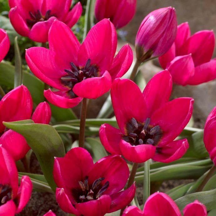 Tulipa Miniature 'Violacea Black Base'