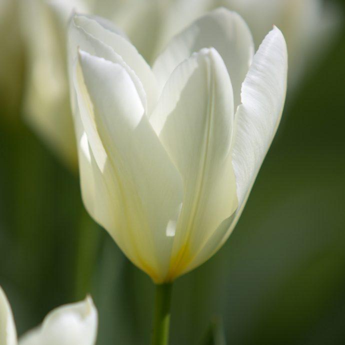 Tulipa Emperor 'White Emperor'