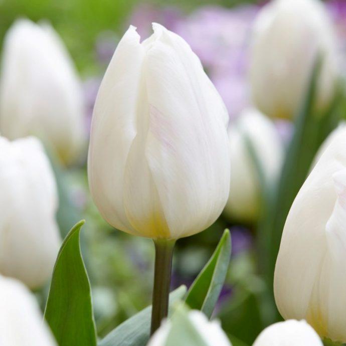 Tulipa Triumph 'White Flag'