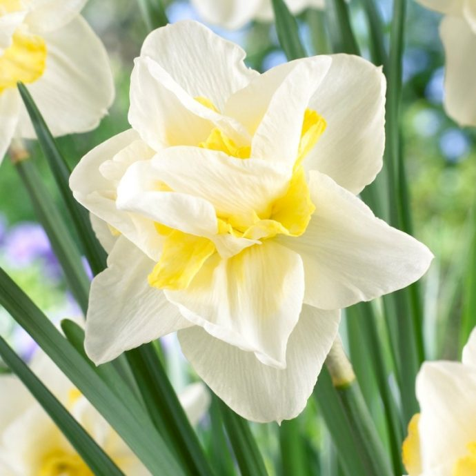 Narcissus Double 'White Lion'