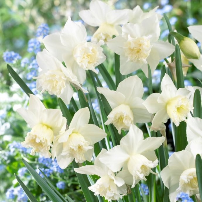 Narcissus Miniature 'White Marvel'