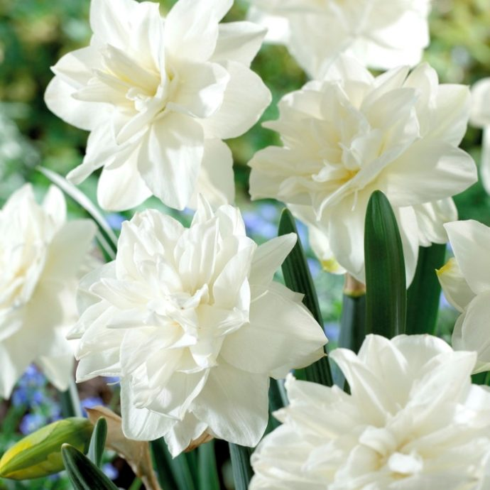 Narcissus Double 'White Medal'