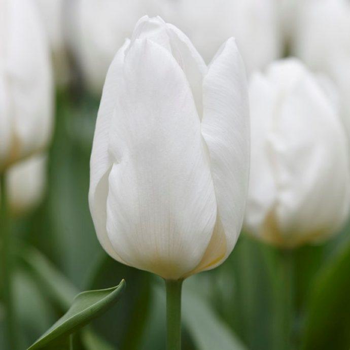 Tulipa Single Early 'White Prince'
