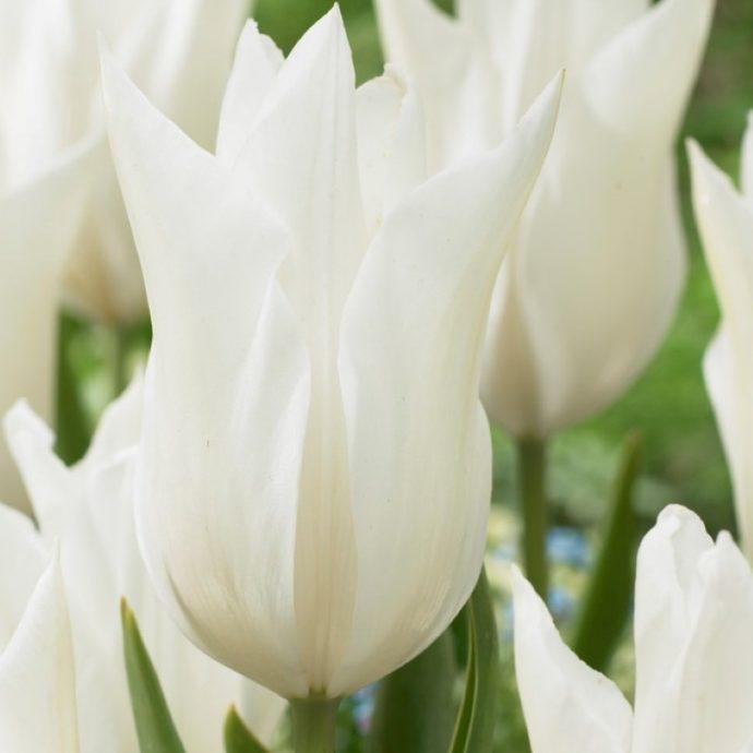 Tulipa Lily Flowering 'White Triumphator'