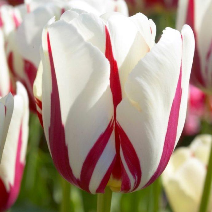Tulipa Single Late 'World Expression'