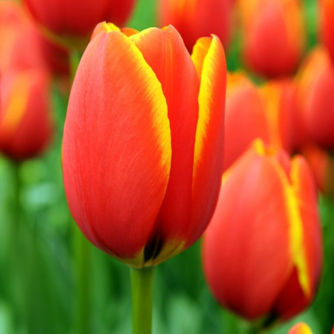 Tulipa Darwin Hybrid 'World's Favorite'