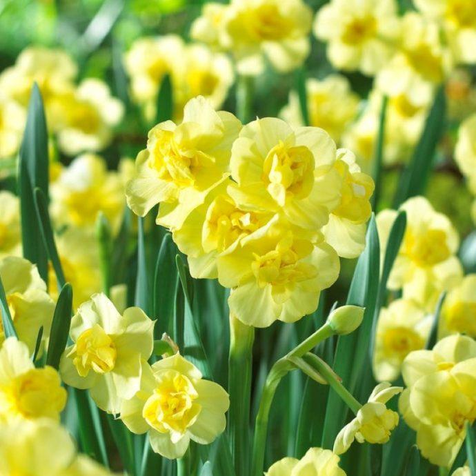 Narcissus Bunch Flowering 'Yellow Cheerfulness'