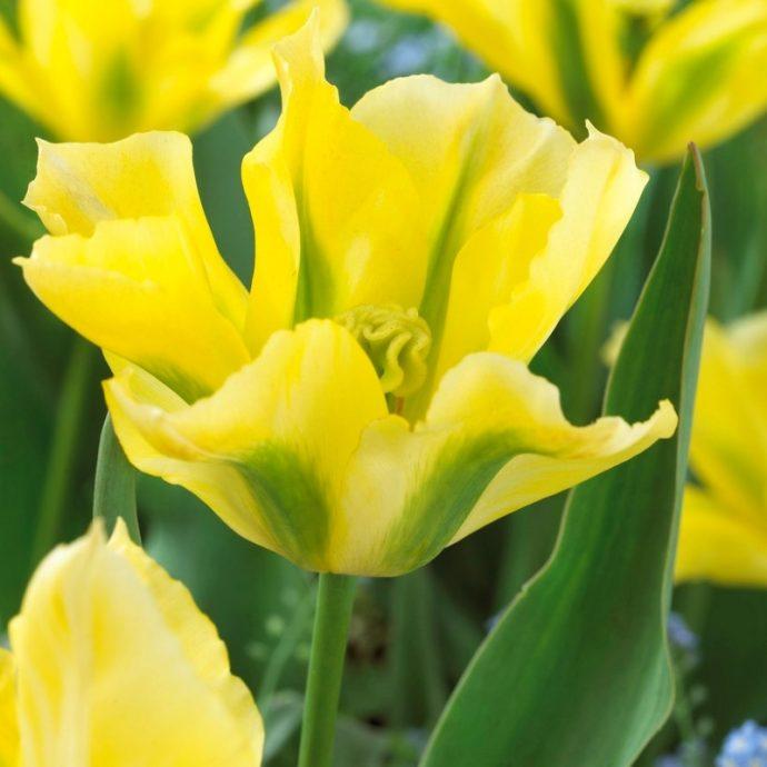 Tulipa Green 'Yellow Spring Green'