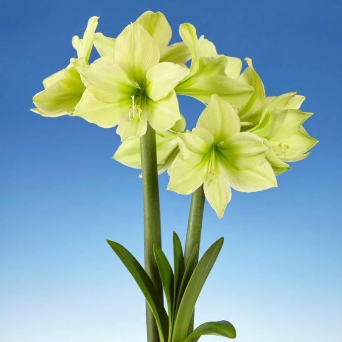 Amaryllis Dutch 'Yellow Star'